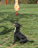 Mini- bull terrier som stirrar upp på hans leksak Royaltyfria Bilder