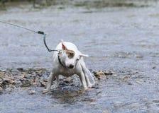 Mini Bull terrier trząść z wody Zdjęcie Royalty Free