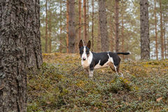 Mini bullterrier tricolor dog on the walk in the forest stock photos