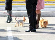 Mini cães de uma comunicação Fotografia de Stock
