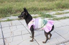 Mini cão do pincher em um vestido fotografia de stock
