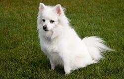 Mini cão Eskimo americano imagens de stock royalty free