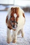 Mini caballo Foto de archivo libre de regalías