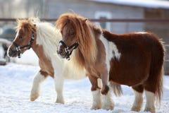 Mini caballo Imagen de archivo libre de regalías
