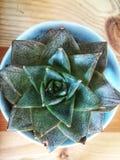 Mini Cactus Fotografia de Stock Royalty Free