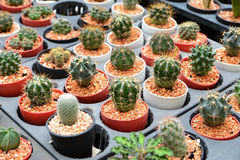 Mini Cactus Immagine Stock