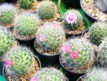 Mini Cactus Imagem de Stock