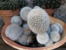 Mini Cactus that adorn your garden. In Storkow in Germany royalty free stock photography