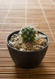 Mini cactus on bamboo screen. Japanese style. Stock Photography