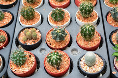 Mini cactus Royalty Free Stock Images