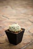 Mini cactus del primo piano Fotografia Stock Libera da Diritti