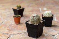 Mini cactus del primo piano Fotografia Stock