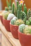 Mini cactus en pote plástico en foco selectivo Imagen de archivo libre de regalías