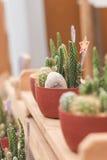 Mini cactus en pote plástico en foco selectivo Imágenes de archivo libres de regalías