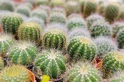 Mini cactus field Royalty Free Stock Image