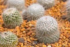 Mini cactus garden Stock Images
