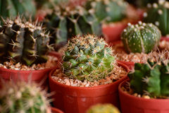 Mini Cactus. Garden Cactus in bangkok,thailand royalty free stock photography