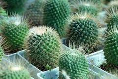 Mini Cactus gewachsen im Topf des weißen Quadrats eine saftige Anlage mit einem starken Lizenzfreies Stockfoto