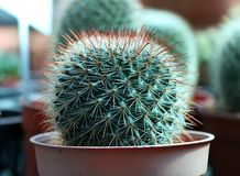 Mini Cactus grown in the brown pot. a succulent plant with a thick, fleshy stem that typically bears spines. Stock Photo