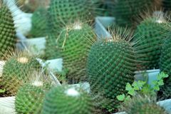 Mini Cactus grown in the white square pot. a succulent plant with a thick, fleshy stem that typically bears spines. Mini Cactus grown in the white square pot. a stock photo
