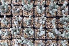 Mini cactus plant in black pot Stock Photo