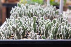 Mini cactus plant in the pot Stock Images