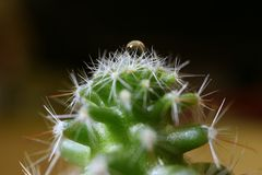 Mini Cactus Plants com Crystal Clear Water Droplet na parte superior, foco seletivo Imagens de Stock Royalty Free