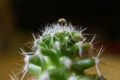 Mini Cactus Plants med Crystal Clear Water Droplet upptill, selektiv fokus royaltyfria bilder