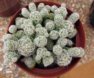 Mini cactus in a pot Stock Image