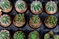 Mini Cactus pot at cactus farm or Little Nipple Cactus. Is Mammillaria heyderi royalty free stock photography
