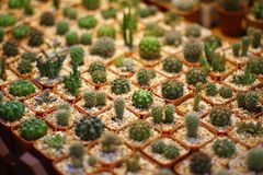 Mini cactus in a pot in selective focus display in the market stock images