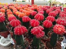 mini cactus rojo fotos de archivo libres de regalías