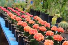 Mini cactus rosso Immagini Stock Libere da Diritti
