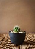 Mini cactus sullo schermo di bambù Stile giapponese Immagine Stock
