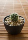 Mini cactus sullo schermo di bambù Stile giapponese Fotografia Stock