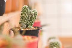 Mini cactus in vaso di plastica Fotografia Stock