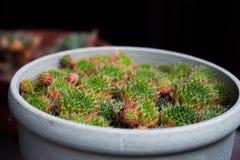 Mini cactus in a white pot Royalty Free Stock Photo