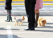 Mini cani di comunicazione Fotografia Stock