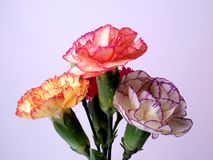 Mini Carnation Background Royalty Free Stock Photos