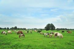 Mini cavalli americani Immagini Stock Libere da Diritti