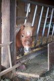 Mini cavallino Fotografia Stock Libera da Diritti