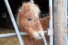 Mini cavallino Immagine Stock Libera da Diritti