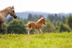 Mini cavallo Fotografie Stock Libere da Diritti