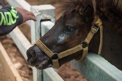 Mini cavalo do anão em um pasto em uma exploração agrícola fotografia de stock royalty free