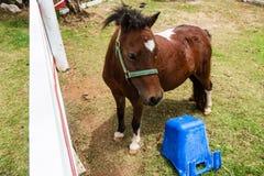 Mini cavalo do anão em uma exploração agrícola Imagem de Stock