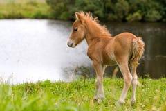 Mini cavalo Falabella do potro Fotos de Stock Royalty Free