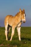 Mini cavalo Falabella do potro Fotografia de Stock