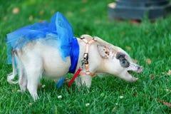 Mini cerdo blanco con la cinta azul Fotos de archivo libres de regalías