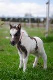 Mini cheval nain à une ferme mini cheval de poulain images stock