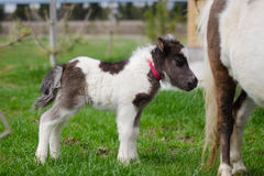 Mini cheval nain à une ferme mini cheval de poulain Image stock